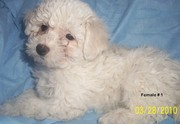 nice Bichon Frise Puppies  for sale
