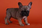 lovely   french bull dog