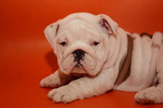 candy the lovely bulldog puppy