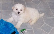 Bichon Frise puppies available for good home
