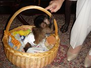 baby capuchin monkeys for 200