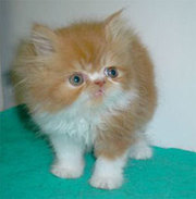 A beautiful persian kitten for home  adoption