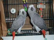 Adorable and Talking African Gray parrots For Adoption