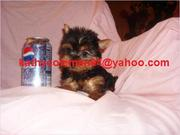 Yorkshire Teacup Yorkie Puppies Available