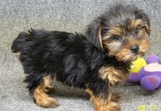 Cute Miniature Tea Cup Yorkshire Terrier Puppies Now Available