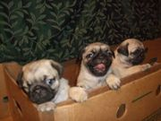 KC registered pug puppies for free adoption