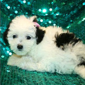 caring Maltipoo Puppies  for xmas